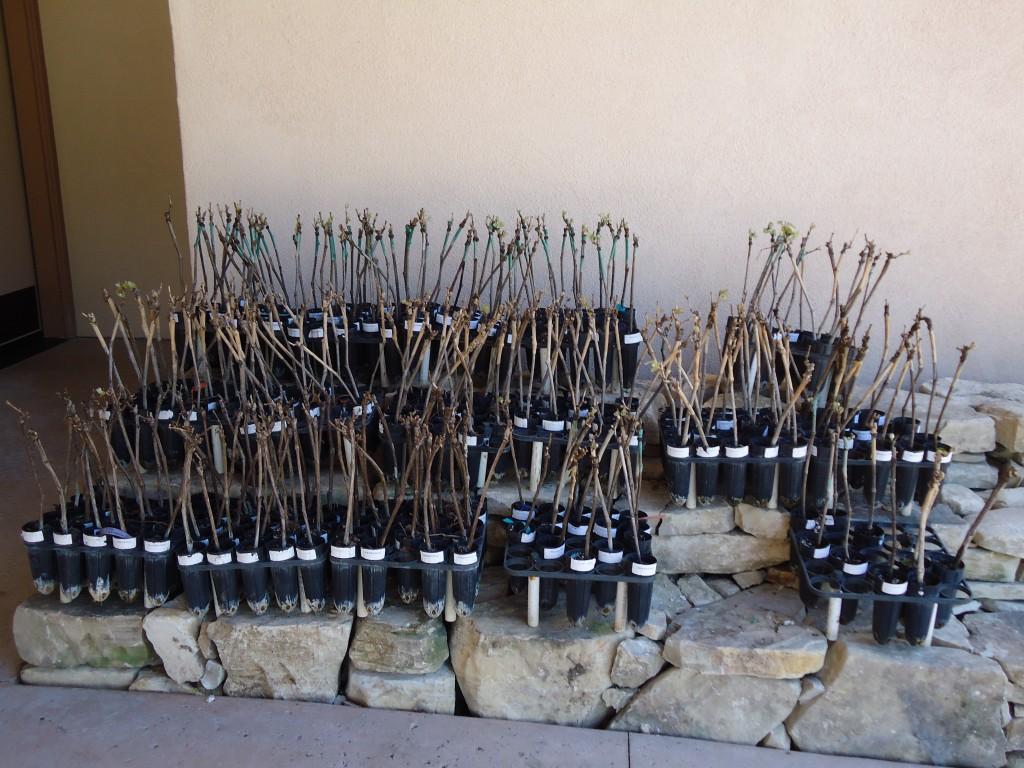 Sample of Rhone cuttings from the Tablas Creek Nursery