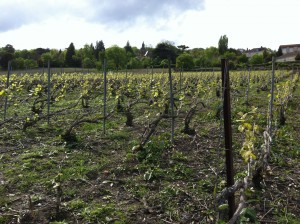 An expression of terroir in Champagne