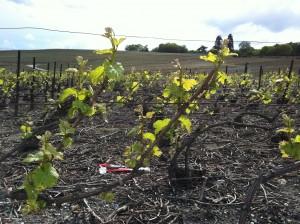 Champagne vineyard in spring