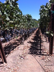 Caymus home block Cabernet vineyard in Rutherford