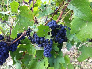 Pinot Noir grapes at La Grange
