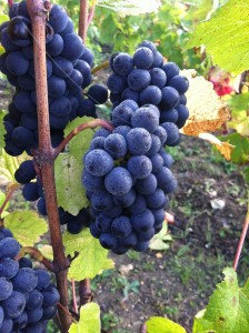 Perfect small Pinot Noir bunches in les Chevres