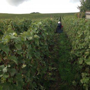Harvesting Meunier in Nesle-le Repons