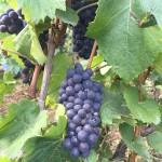 Pinot Noir in les Hautes Chèvres